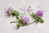 Red clover (Trifolium pratense) on stone surface