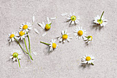 Daisies (Bellis perennis) on stone surface