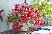 Calibrachoa Superbells 'Double Ruby' ( Zauberglöckchen )