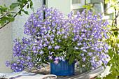 Lobelia erinus Hot 'Blue with Eye' ( Männertreu )