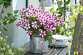 Petunia Cascadias 'Bicolor Cabernet' ( Petunie ) in Zink-Milchkanne