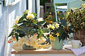 Begonia Belleconia ' Chardonnay' ( Hängebegonie ), Begonia Mistral