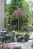 Rosa 'Starlet Rose Eva' ( Mini - Kletterrose ) auf Stamm, Pelargonium