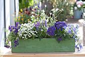 Blau - weiß bepflanzter Holzkasten mit Ageratum ( Leberbalsam )