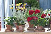Topf-Arrangement mit Pelargonium zonale 'Dark Red' ( Geranie ), Fragaria