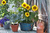 Helianthus annuus ( Sonnenblumen ) und Fragaria ( Erdbeeren )