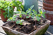 Jungpflanzen von Helianthus annuus ( Sonnenblumen ) in Torftöpfen gezogen