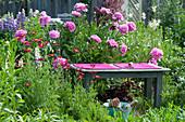 Holzbank im Beet neben Paeonia lactiflora 'Glory Hallelujah'