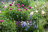 Frühsommer-Staudenbeet : Paeonia lactiflora 'Pink Double' ( Pfingstrosen )