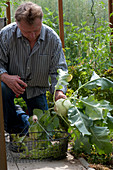 Mann erntet Brassica ( Kohlrabi ) im Gewächshaus, Drahtkorb