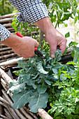 Mann erntet Knospen von Brassica ( Brokkoli ) in Hochbeet