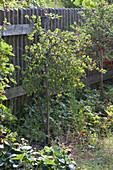 Ribes uva-crispa ( Stachelbeeren ) Stämmchen am Zaun