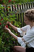 Frau pflückt Ribes rubrum ( Rote Johannisbeeren ) am Zaun