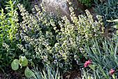 Kräuterbeet mit Einfassung aus Natursteinen : Thymus vulgaris ( Thymian )
