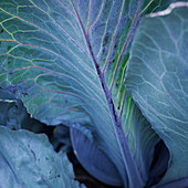 Red cabbage leaves (close-up)