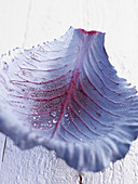 A red cabbage leaf with drops of water