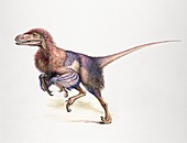 Dromaeosaur, illustration