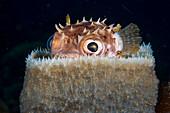 Spotbase burrfish hiding in sponge