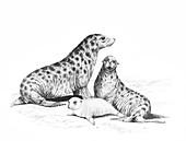 Allodesmus, illustration