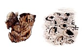 Sloth skin and mammal fossil footprints, illustration