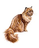 Domestic cat, illustration