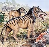 Hyaenodon, illustration