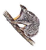 Philippine flying lemur, illustration