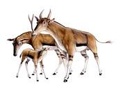 Synthetoceras, illustration