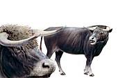 Bison latifrons, illustration