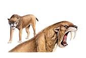 Smilodon sabretooth cat, illustration