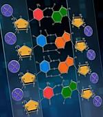 DNA nucleotide bases, illustration