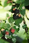 Ripening blackberry (Rubus sp.) fruit