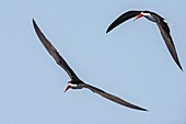 African skimmers in flight