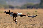 African fish eagle with prey