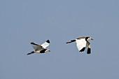 Long-toed lapwings in flight