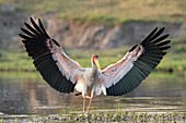 Yellow-billed stork with wings spread