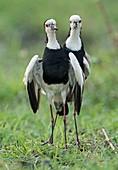 Long-toed lapwings