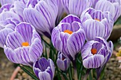 Crocus vernus 'Pickwick'