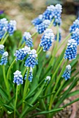 Grape Hyacinth (Muscari 'Mount Hood')