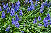 American Grape Hyacinth (Muscari armeniacum)