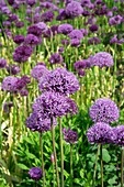 Dutch Garlic (Allium hollandicum 'Purple Sensation')