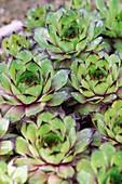 Houseleek (Sempervivum montana)