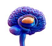 The basal ganglia , illustration