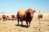 Bonsmara Cattle (Bos taurus)