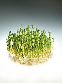 Sprouting peas in a dish
