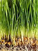 Sprouting wheatgrass