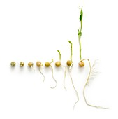 The seven day growth cycle of a sprouting pea