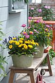 Blechtöpfe mit Bracteantha Sunbrella 'Pink' 'Yellow' ( Strohblumen )