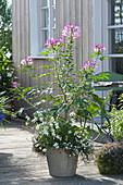 Cleome spinosa ( Spinnenpflanze ) unterpflanzt mit Gaura 'Snowbird