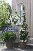 Agapanthus africanus ( Schmucklilie ), Mandevilla Sundaville 'White'